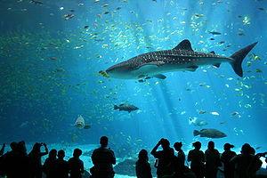 300px-Male_whale_shark_at_Georgia_Aquarium