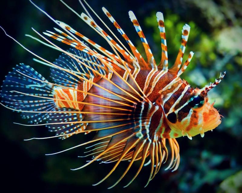 Lionfish1