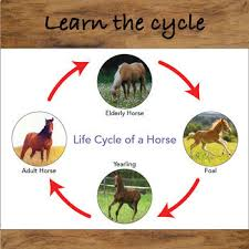 Life cycle of horse